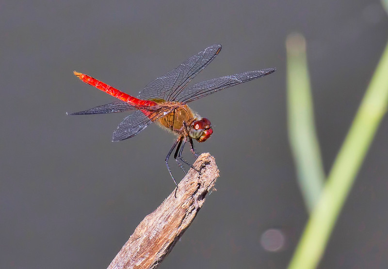 Red-tailed Pennant (Brachymesia furcata), male;  Bentsen SP