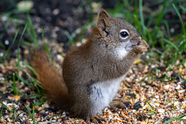 6-28-20 Red Squirrel