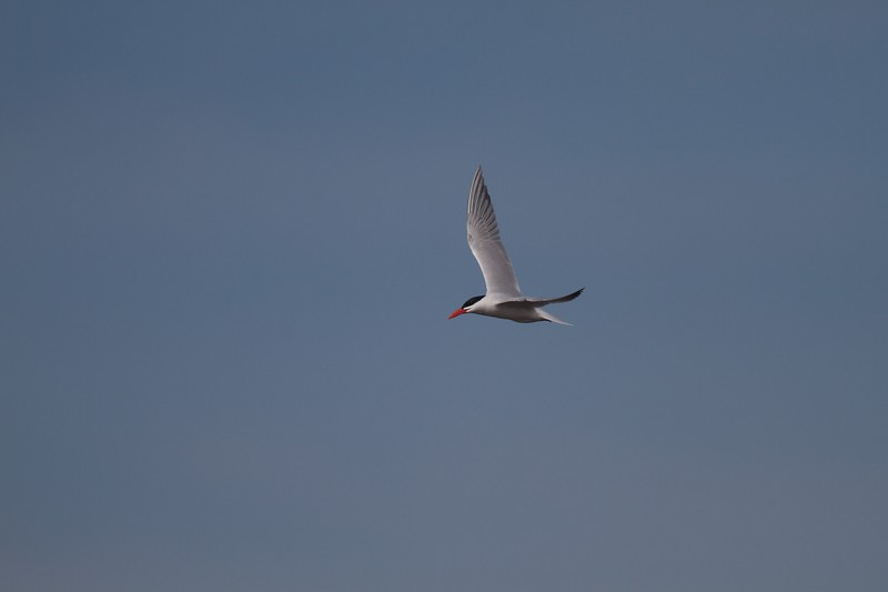 Caspian Tern Wisconsin Point Superior WI IMG_1496.jpg