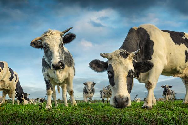 Fine Art natuur foto van een groepje zwart witte koeien in de groene weide.