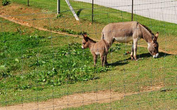 Donkey Shots