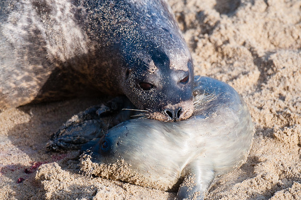 Harbor Seal Birth San Diego