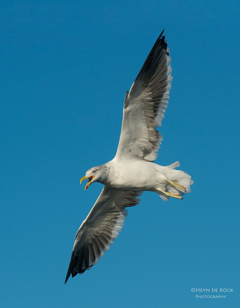 Kelp Gull, Wollongong, NSW, Aus, May 2013.jpg