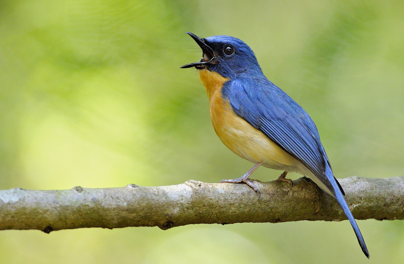 Tickell's-Blue-Flycatcher-01.jpg
