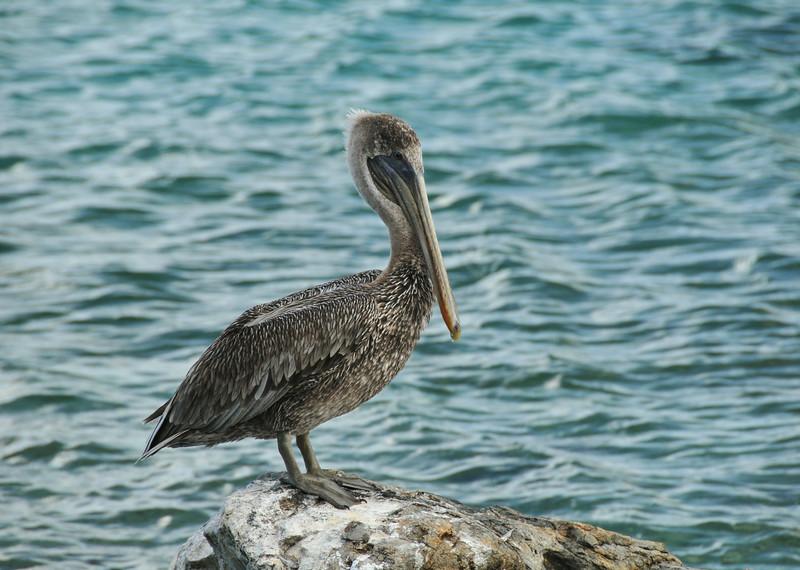 DSC_5793_perched_pelican_lg.jpg
