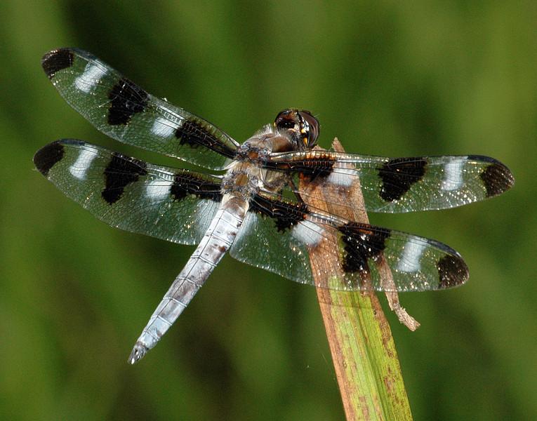 Libellula pulchella (Twelve-spotted Skimmer), GA
