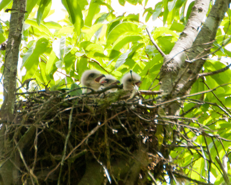 2012 Red Shouldered Hawk Nest C4876