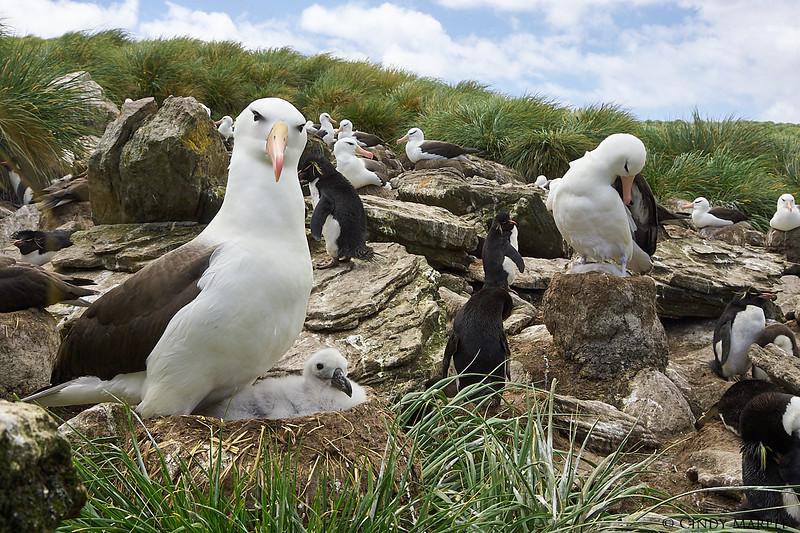 Black-browed_Albatross_17.jpg