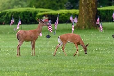 05/29/19 Deer