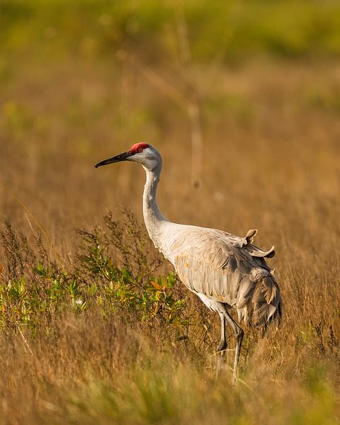 Cranes - Sandhills and Whooping Cranes