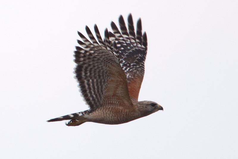 Hawk - Red-shouldered - Three Lakes WMA - Kissimmee, FL - 01
