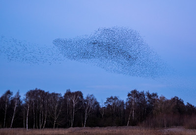 WHISBY STARLING MURMURATION (6)