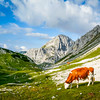 Cows on the Rocks, Aint No Surprise, Triglav, Slovenia