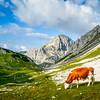 Cows on the Rocks, Aint No Surprise, Triglav, Slovenia