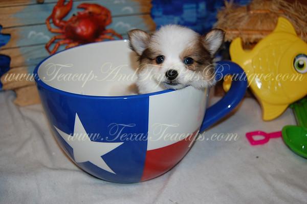 """""""Jasper"""" Male Pomeranian Puppy # 2792"""
