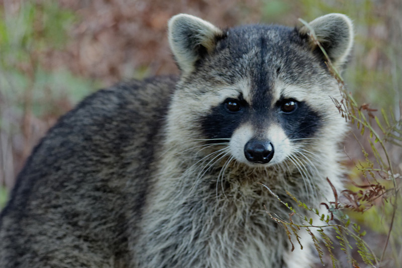 Raccoon - Surprises the photographer in a stream