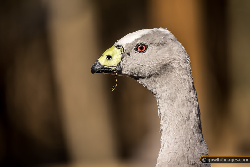 Cape Barren Goose