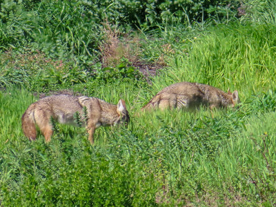 Coyotes March 13 2019