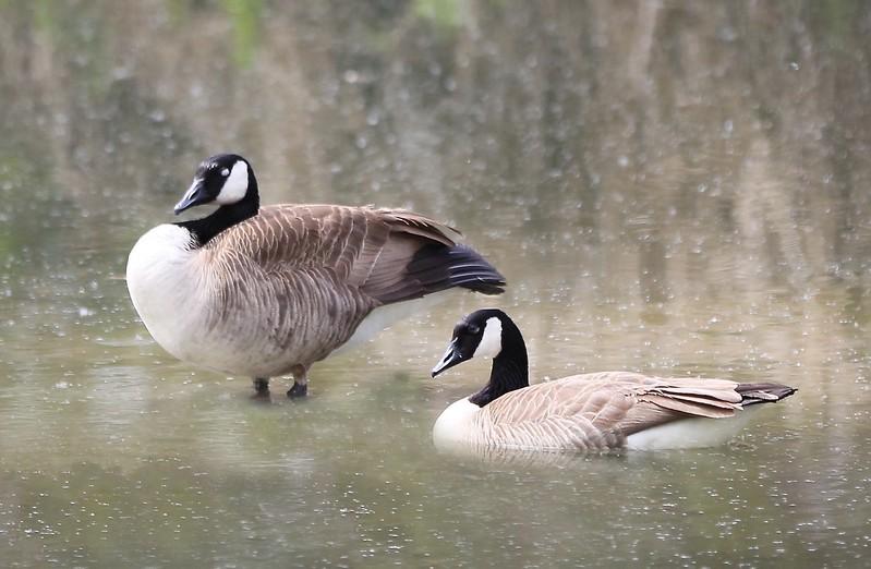candian geese (2).jpg