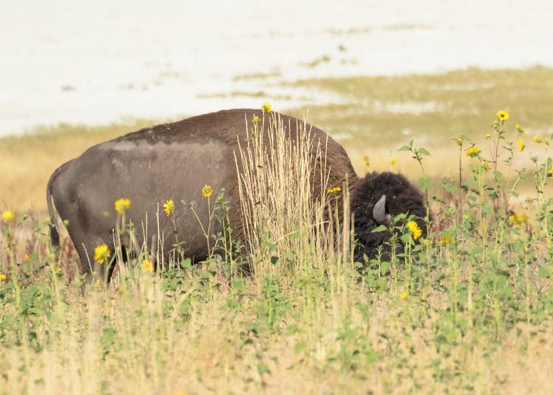 Wild Bison Antelope Island UT