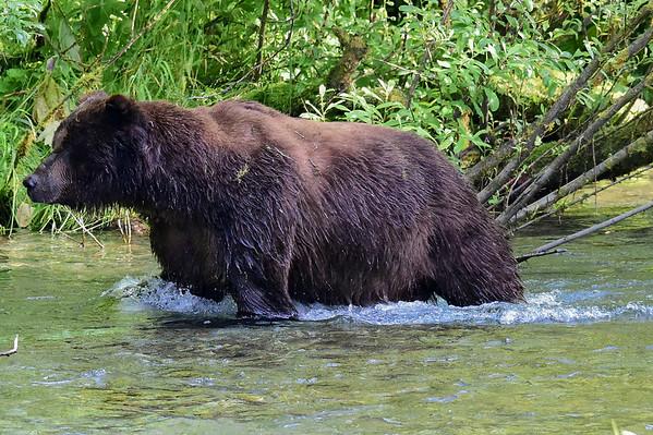 8-02-14 Grizzly Bear Named Dog Bear