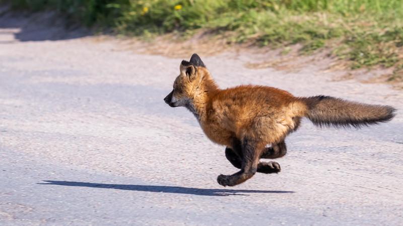 running red fox kit-2050.jpg