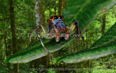 South East Asian Spiders Salticidae (Jumping Spiders)