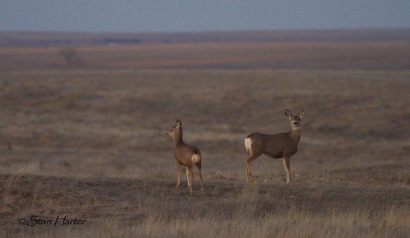 Shortgrass Prairie Mule Deer.jpg
