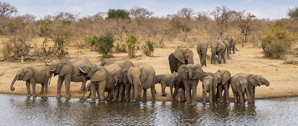 A very relaxed breeding herd of elephants join us in Shindzela