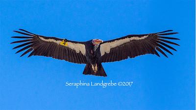 Condors & Vultures
