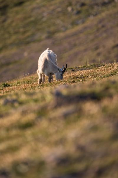 Summer Mountain Goats