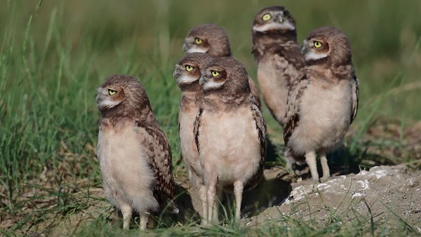 6-30- 17 **Video - Burrowing Owl Site #8