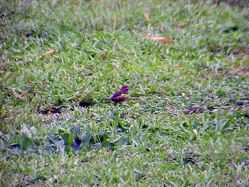 Variable Seedeater female at El Gavilan Lodge Costa Rica 2-11-03 (50898320)