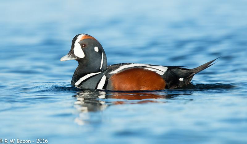 Harlequin Duck.jpg