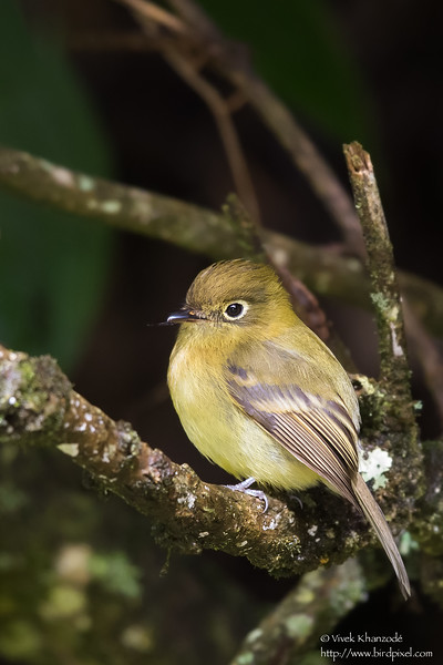 Yellowish Flycatcher - Los Quetzales Trail, Guadalupe, Panama