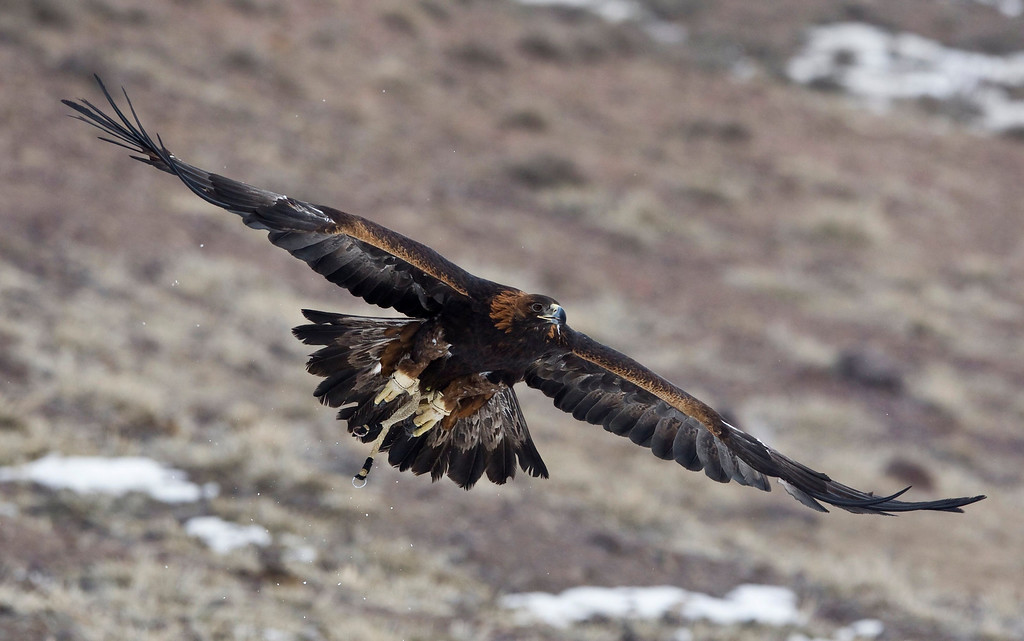 . A tamed golden eagle soars during an annual hunting competition in Chengelsy Gorge, some 150 km (93 miles) east of Almaty February 22, 2013. Picture taken February 22, 2013.  REUTERS/Shamil Zhumatov