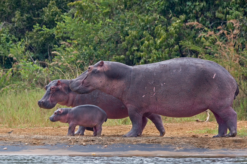 happy hippo family.jpg