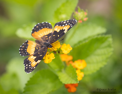 Bordered Patch Butterflies