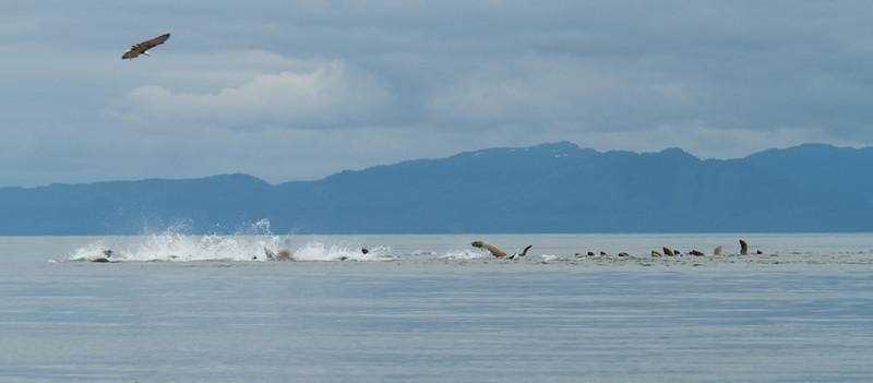 Sea Lions Feeding