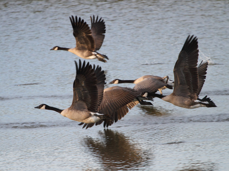 Geese Lift Off