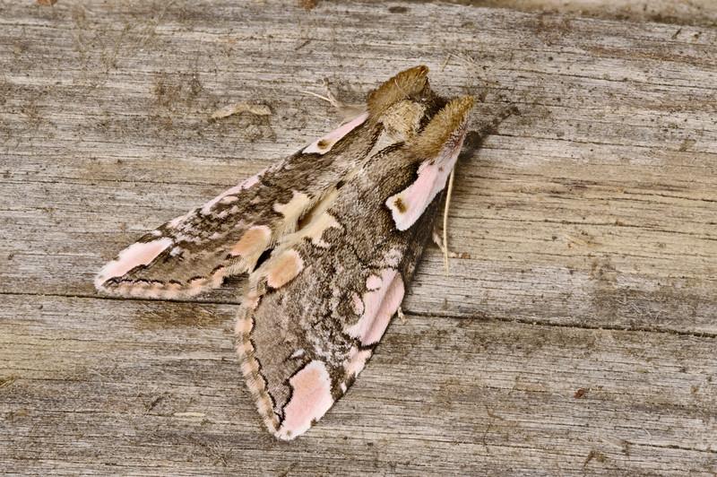Dogwood thyatirid Moth