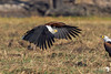 And there he goes...A Fish Eagle departing