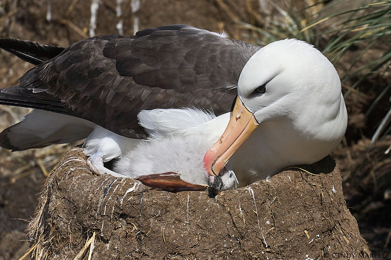 Black-browed_Albatross_14.jpg