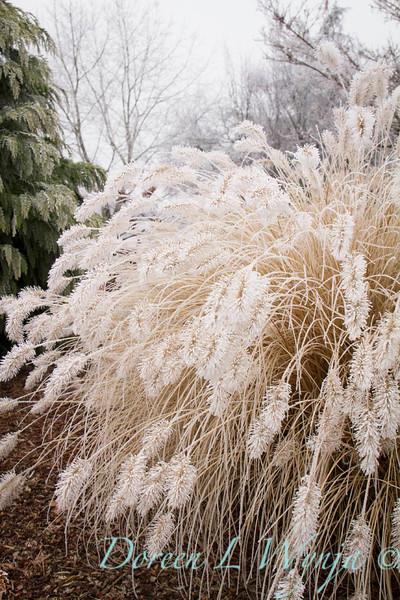 Pennisetum alopecuroides 'Hameln' - frost_9220.jpg
