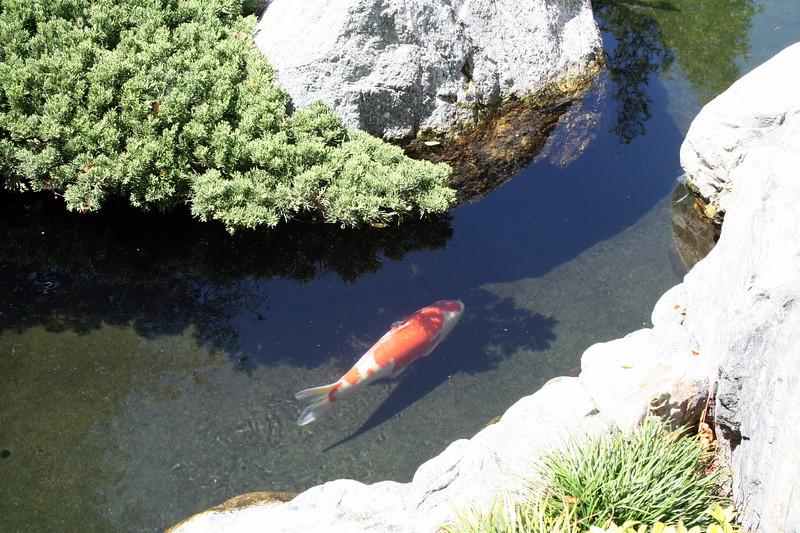 Koi Pond Japanese Friendship Garden Balboa Park 5 Sep 2010