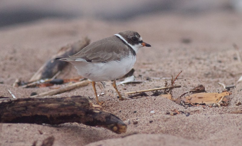 Semipalmated Plover Park Point Duluth MN IMG_3287.jpg