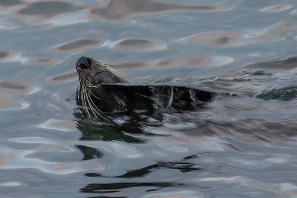 Artania & Fur Seal 10MAR17
