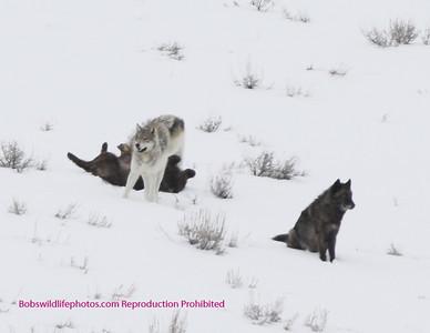 Druid wolf Pack