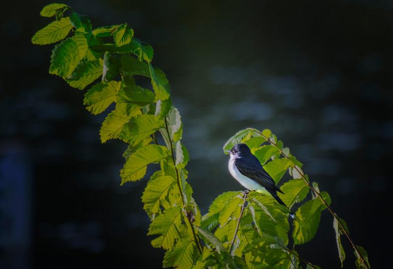 6.3.17 - Beaver Lake Fish Nursery: Kingbird