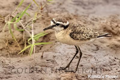 Kittlitz's Plover, Kenya